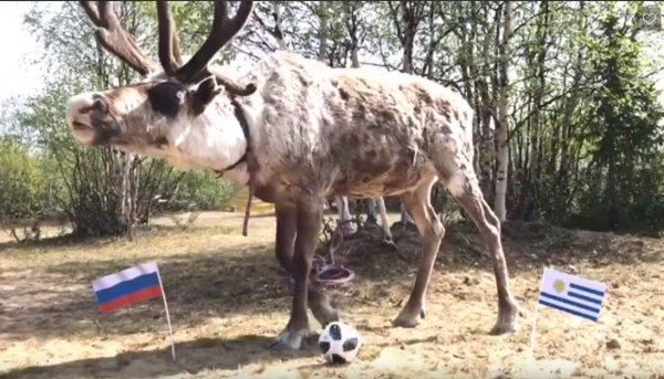 Олень Марик предсказал победу России в матче с Уругваем